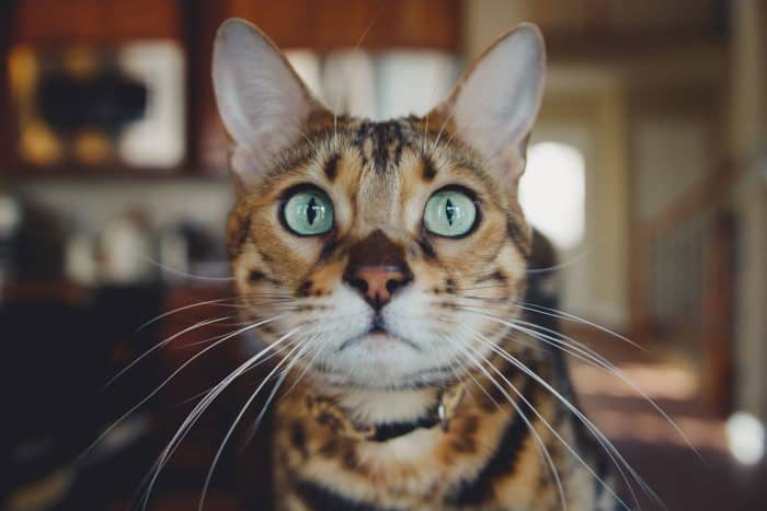 Bengal Cat Breeders Worldwide Directory 2020