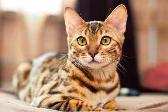 When Do Bengal Kittens Lose Their Teeth 2020