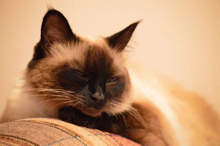 15 Ways To Identify A Balinese Cat 2019