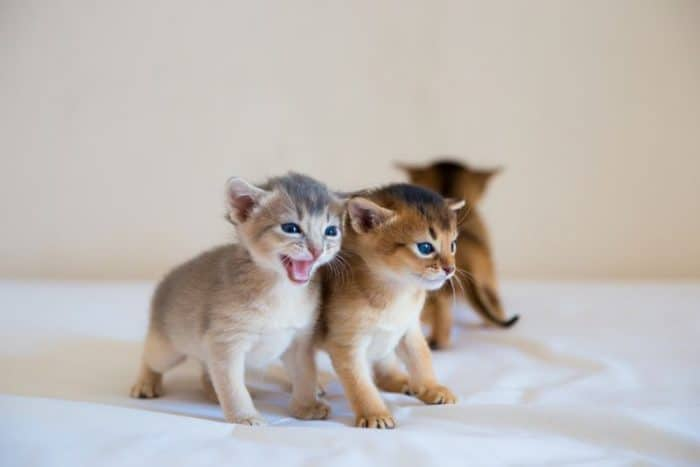 The Cost of Abyssinian Cat and Kitten - Let's Find Out! (2019)