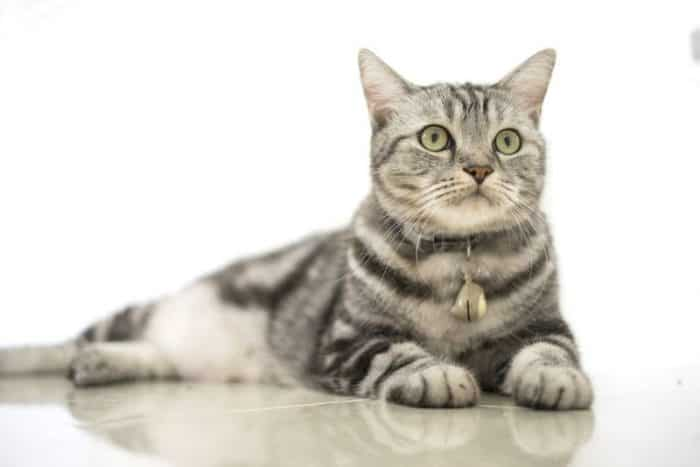 How Big Are American Shorthair Cats Their Lifespan 2020