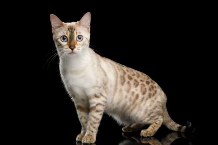 13 Steps to Identify a Bengal Cat (with Examples & Illustration)