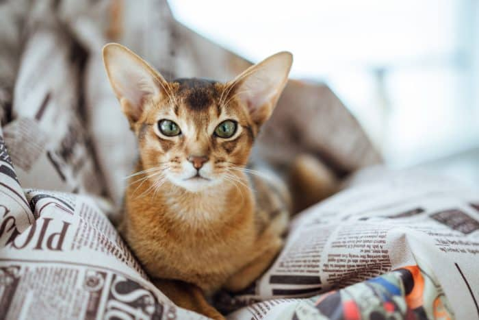 The Abyssinian Cat Ultimate Guide (2019)