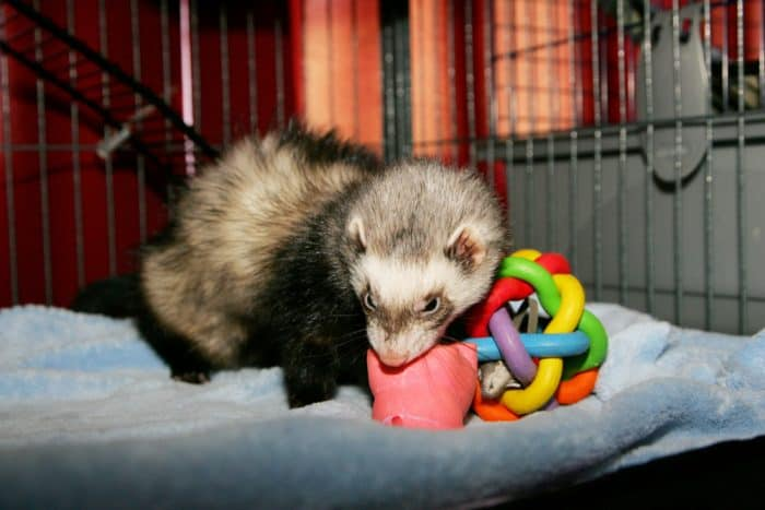 13 Best Ferret Toys + 7 Items you can find at home!
