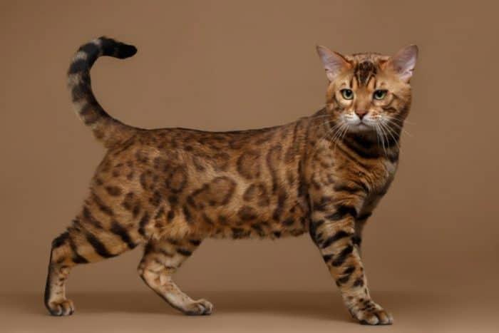 bengal cat checklist