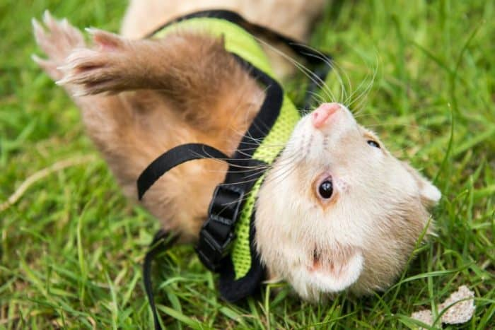 You /& Me Deluxe Ferret Harness /& Lead Set