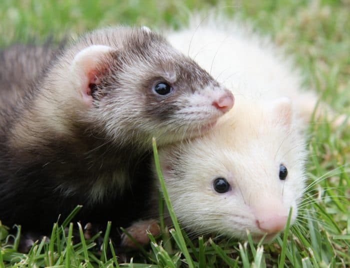a87b81026 250 Ferret Names That are Cute & Awesome! (2019 Update)