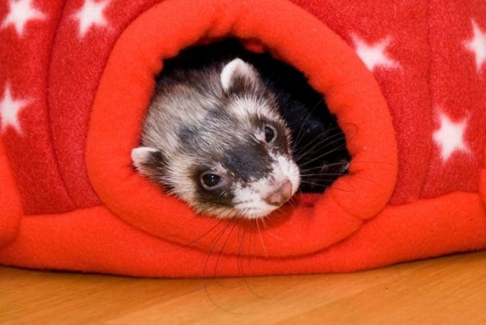 Fabulous My Ferret Sleeps Too Much Causes Of Lethargy How To Fix It Machost Co Dining Chair Design Ideas Machostcouk