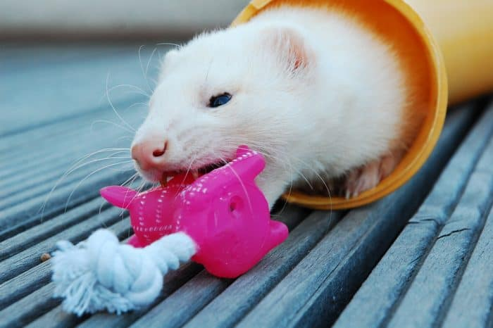 How to Keep a Ferret Entertained?
