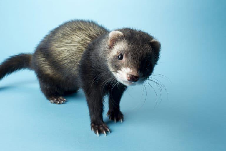 do ferrets eat meat