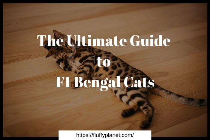 The F1 Bengal Cats Ultimate Guide 2020