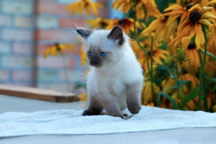 The Balinese Cat Ultimate Guide 2020