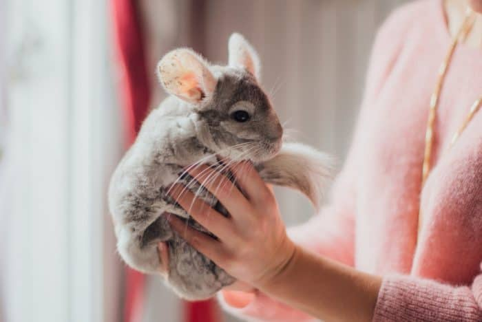How To Handle A Chinchilla? And Do Chinchillas Like To