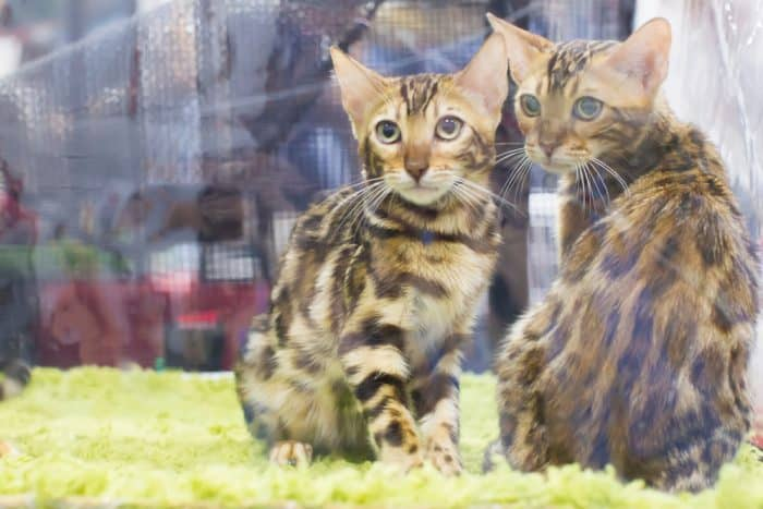 How To Breed A Bengal Cat And How To Become A Breeder