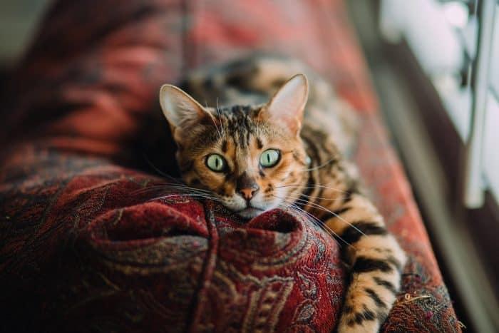 668 Spanish Cat Names - For Male  Female Kitten 2019-1362
