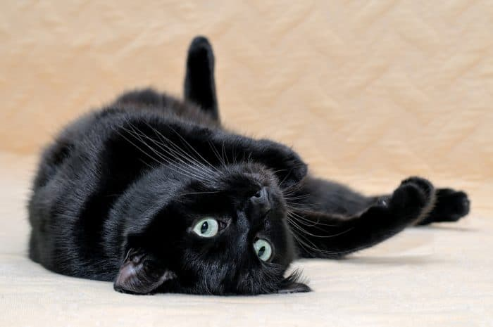 Image result for bombay cat