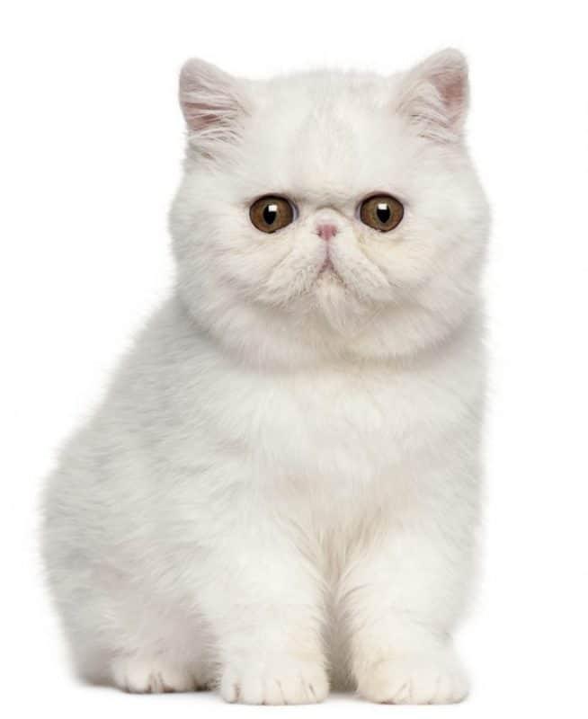 Exotic Shorthair Cat Breeders Database (2019 Updated) – FluffyPlanet