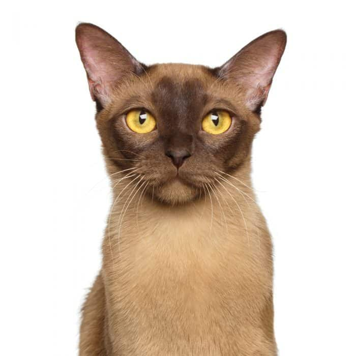 23 Fun Facts About Burmese Cats You Should Definitely Know