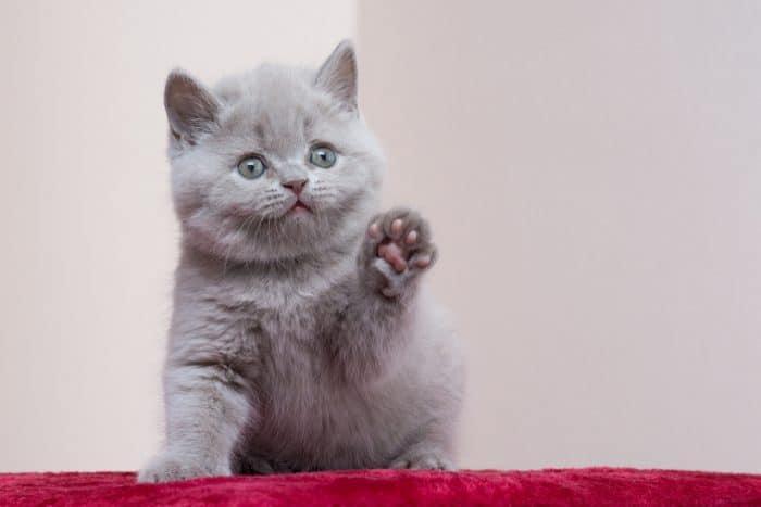 Do British Blue Kittens Eyes Change Color 2020