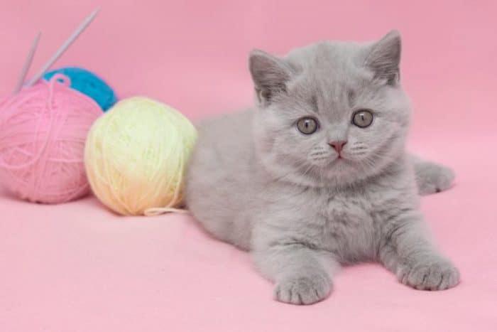 How to Choose a British Shorthair Kitten (2019)