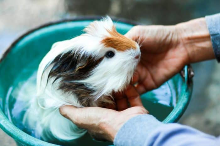 Should I Bathe My Guinea Pig And How Often