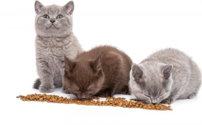 How Much Should A British Shorthair Kitten Eat? [ 2020 ]