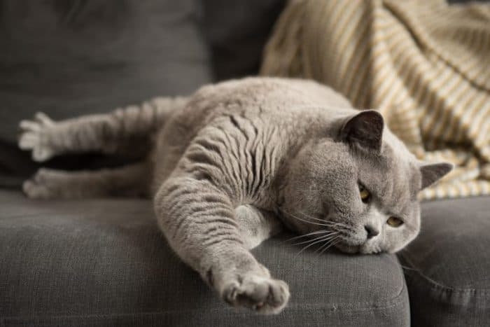How Long Is A British Shorthair Pregnant For 2020