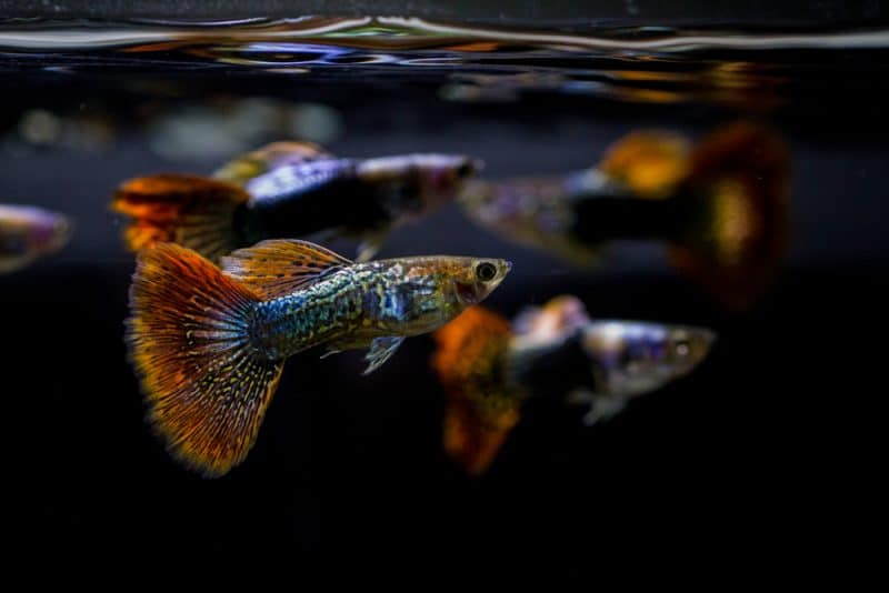 Guppy Fish: Types of Guppies, Species, Colour, And Tail Patterns ... | 534x800