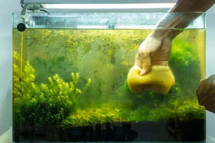 How To Get Rid Of Brown Algae In Aquarium 2020