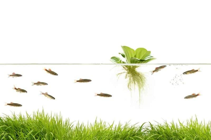 Floating pond plant collection 5 x Water lettuce 3 x hornwort /& Greater duckweed