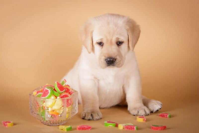 Can Dogs Eat Gummy Bears Is It Safe