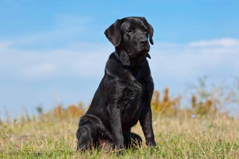 Check If A Labrador Is Purebred