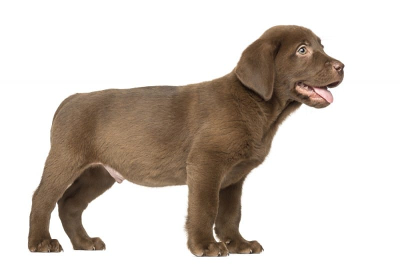 How much should my Labrador weigh? - Labrador weight charts